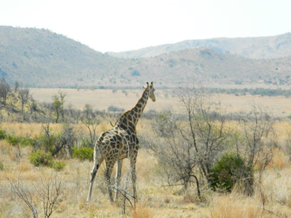 Snazzy Giraffe in Pilanesberg National Park, South Africa
