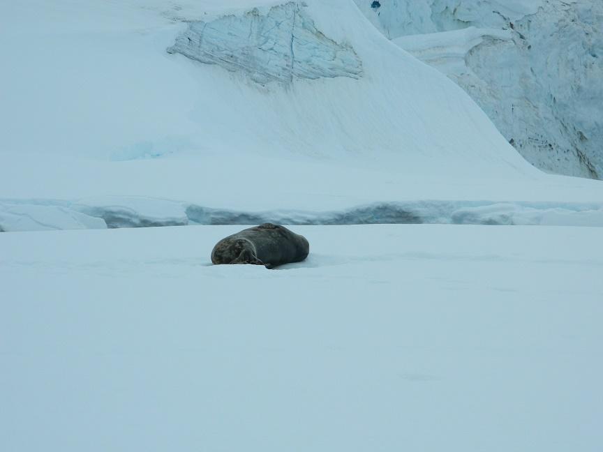 Mammoth seal