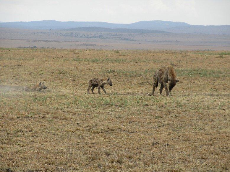 Naughty hyenas roaming carefree