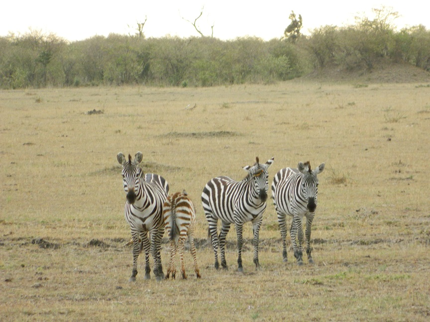 Pretty zebras gracing the landscape
