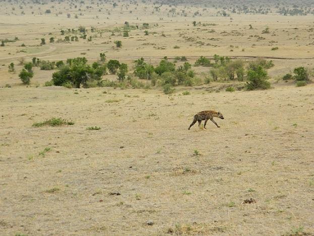 Hyena roaming carefree on Masai land