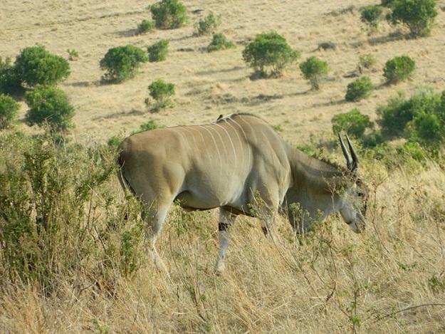 African eland having good time
